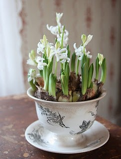 Nomad Luxuries; paper white bulbs placed in a porcelain tea cup as a planter.