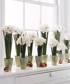 Nomad Luxuries; paper white bulbs in full bloom by a brightly lit window sill